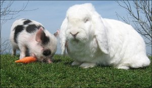 pig-and-bunny2_682_792119a