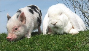 pig-and-bunny3_682_792175a