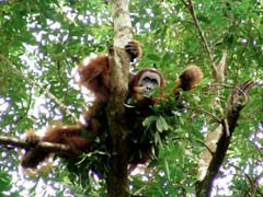 Orangutan di hutan Ketambe