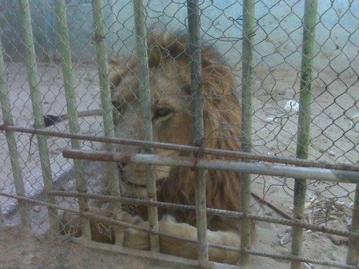 Singa jantan yang akan dijual, karena sang betina tewas oleh tentara Israel