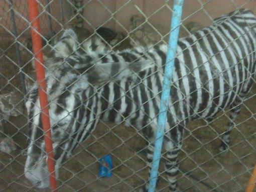 Keledai yang di cat mirip kuda Zebra