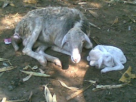 Induk dan saudara si kambing bermata satu dan tanpa hidung yang kondisinya normal