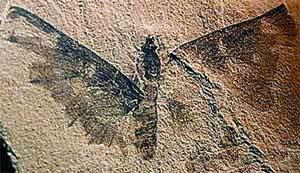 Fosil kupu-kupu berumur 100 juta tahun, ditemukan di Provinsi Gansu, Tiongkok. (INTERNET)