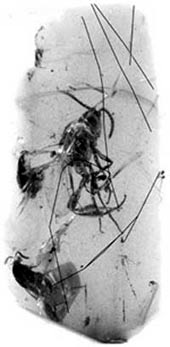 Laba-laba terkurung di dalam ambar (resin pohon yang menjadi fosil dan dihargai karena warna serta kecantikannya) 136 juta tahun yang silam. (INTERNET)